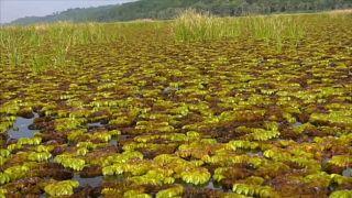 Salvínia gigante cobre um quarto da superfície do lago Ossa