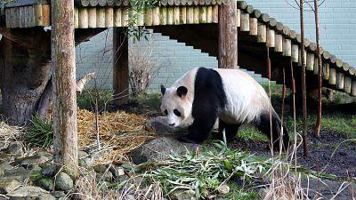 Giant panda named Yang Guang, is seen exploring his enclosure at Edinburgh Zoo in Edinburgh, Scotland Monday, Dec 16, 2013.