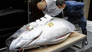 Der diesjährige Rekordfang wurde von einer Sushi-Bar-Kette in Tokio ersteigert