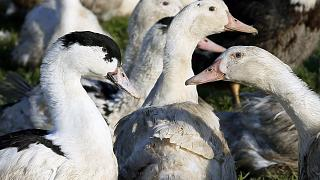Ducks are pictured at a poultry farm in Montsoue, southwestern France, Tuesday, Feb.21, 2017.