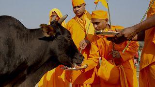 گاو برای بسیار از هندوها جانور مقدسی است