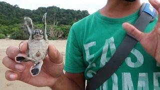 Ein Schildkrötenbaby in der Hand eines Naturschützers in Ostjava