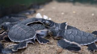 Indonesia's baby sea turtles make a break for freedom