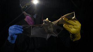 باحث يمسك بخفاش في غابة برازيلية. 2020/11/17