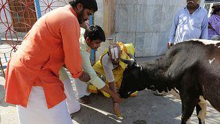 Hindistan'da ulusal çapta 'yazılı inek testi' yapılacak