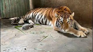 أول نمر بنغالي أبيض يولد في نيكاراغوا