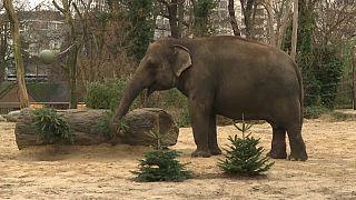 Tannenbaumspenden für den Berliner Zoo