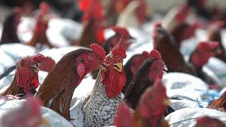 Senegal culls more than 40,000 birds amid bird flu outbreak