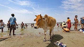 Tehén társaságában vesznek rituális fürdőt a hívek a Gangeszben egy vallási ünnepen Indiában