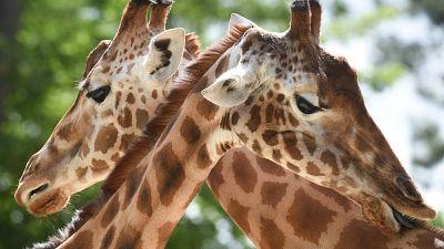 Deux girafes de petites tailles découvertes en Namibie et en Ouganda