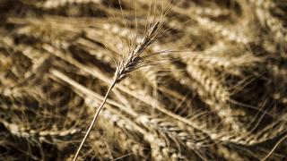 محصول القمح في مزرعة كندية. 2020/09/27