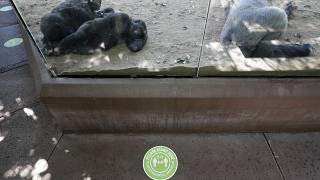 Gorillas San Diego Zoo