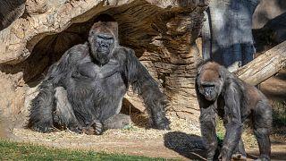 San Diego Hayvanat Bahçesi, Kaliforniya'da salgın önlemlerinin sıkılaştırıldığı 6 Aralık'tan beri halka kapalı durumda