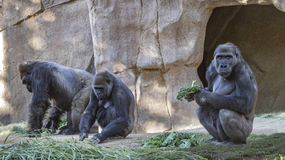 Eight gorillas at a U.S. zoo have tested positive for coronavirus