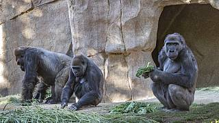 Members of the gorilla troop at the San Diego Zoo Safari Park in Escondido, Calif., are seen in their habitat on Sunday, Jan. 10, 2021.