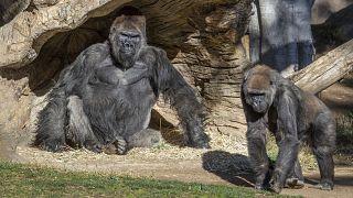 Members of the gorilla troop at the San Diego Zoo Safari Park in Escondido