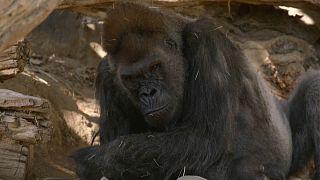Gorila del Zoológico de San Diego