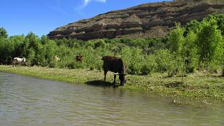 In this Sunday, June 1, 2014, photograph, cattle graze at the edge of the Verde River in Camp Verde, Ariz. (AP Photo/Ross D. Franklin)