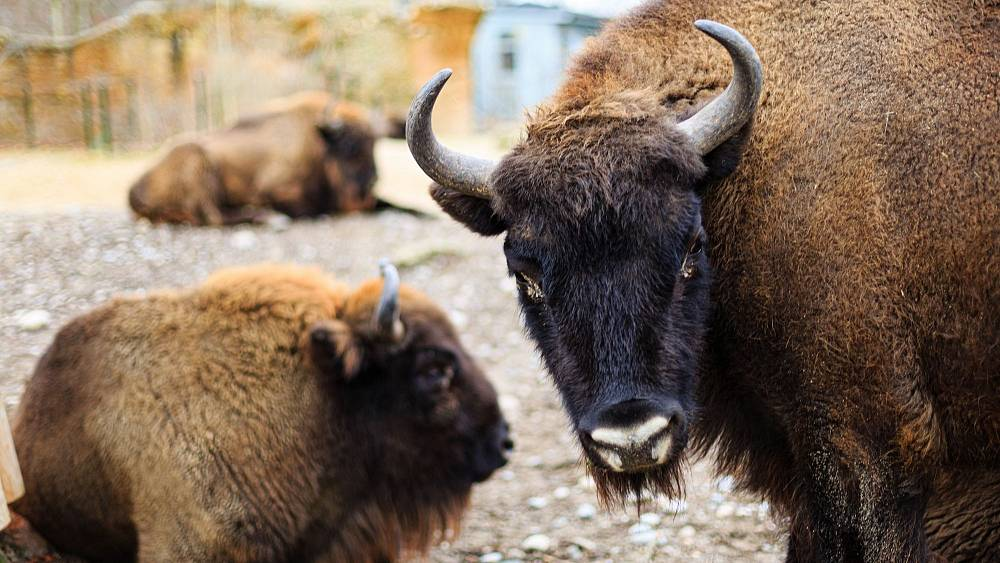 No experience required: Could you be the UK's first Bison herder?