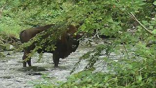 Vom Aussterben bedroht - Bisons in der Grafschaft Kent