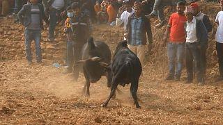 مصارعة الثيران في الهند ونيبال