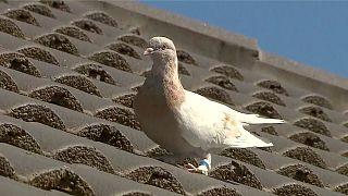 جو کبوتری که گمان میشد از آمریکا به استرالیا سفر کرده