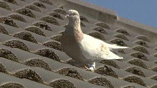 طائر حمام مع تعريف مزيف حول قائمته ينجو من القتل الرحيم