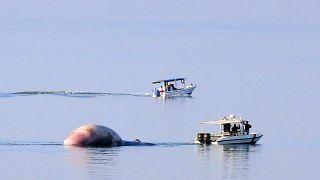 عملية انتشال جثة حوت نافق في مياه البحر في الكويت