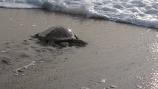 Kenya Sees Green Turtle Baby Boom on its Southern Coastlines