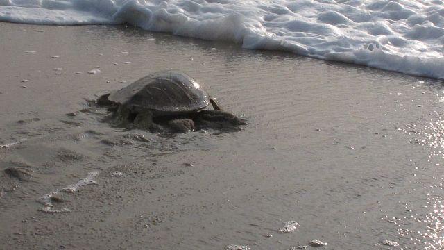 Kenya : Les tortues en danger sont surveillées de près