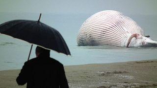 Foto de ilustración. Un hombre observa una ballena encallada en San Rossore, cerca de Pisa, Italia, el 26 de enero de 2011 (Archivo)
