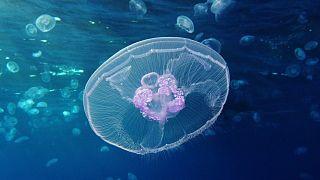 قنديل البحر القمري (Aurelia aurita) - ويكيميديا