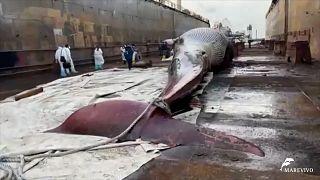 لاشه نهنگ غولپیکر ترافیک دریایی در ناپل را مختل کرد
