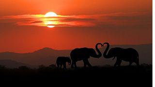 Elephants walk at dusk