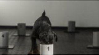كلب يتدرب على شم فيروس كورونا