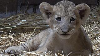 Cub conceived with African lion semen outdoored in Singapore