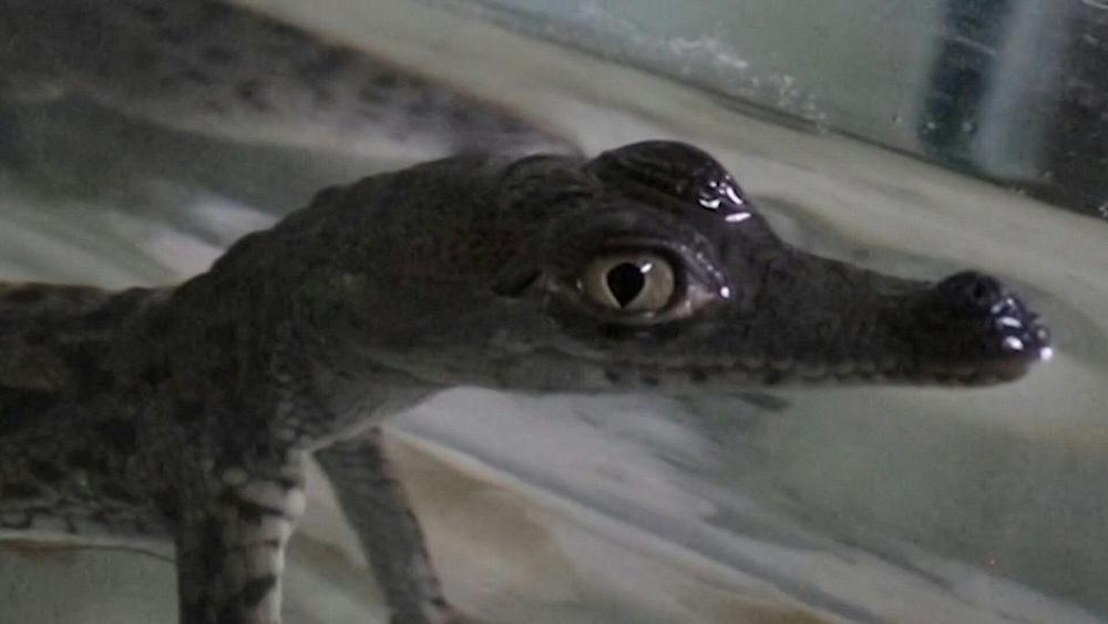 baby-crocodiles-from-endangered-species-born-at-zoo-in-peru