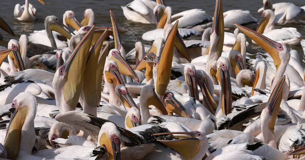 Senegal restricts public access to major park following deaths of 750 pelicans | Africanews