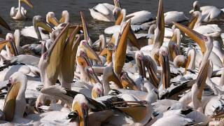 Senegal restricts public access to major park following deaths of 750 pelicans