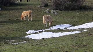 Cattle grazing in Madrid's countryside, January 2021