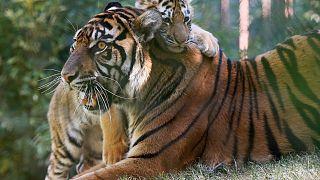 نمر من فصيلة الآمور