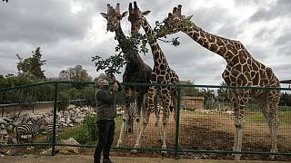 Zoo curator Adonis Balas feeds three giraffes at the Attica Zoological Park in Spata, near Athens, on Tuesday, Jan. 26, 2021.