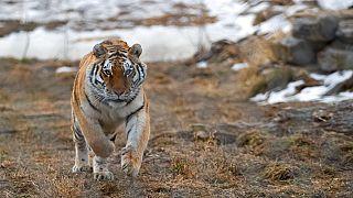 Tiger - Symbolbild