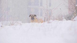 Kosovarischer Straßenhund