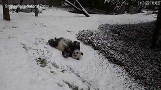 Uno de los pandas del zoo de Washington jugando en la nieve