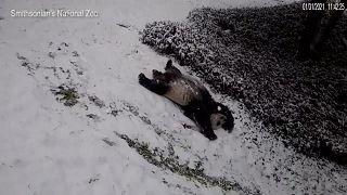 شاهد: حيوانات الباندا تتزحلق على الثلج في الولايات المتحدة