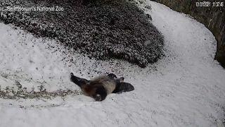 Panda do zoo Smithsonian brinca na neve