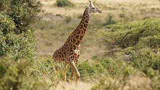 Καμηλοπάρδαλη στην Κένυα (φωτογραφία αρχείου)