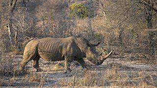 Afrique du Sud : le coronavirus protège les rhinocéros