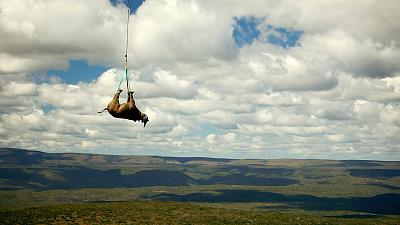A tranquillised black rhino is suspended from a helicopter in the Eastern Cape province, South Africa.